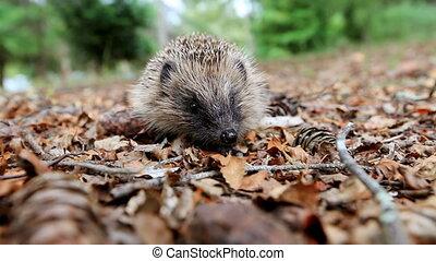 Hedgehog on a forest litter - Hedgehog looks at the camera...