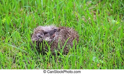 Hedgehog on meadow sniffing in nature view, wildlife...