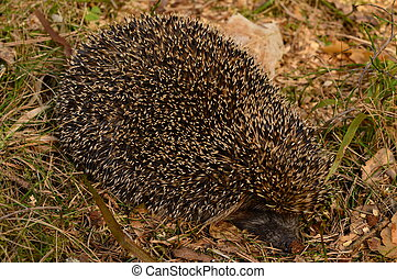 Hedgehog on the edge of the forest basking in the spring sun