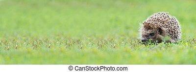 hedgehog on the grass. - Hedgehog, (Scientific name: ...