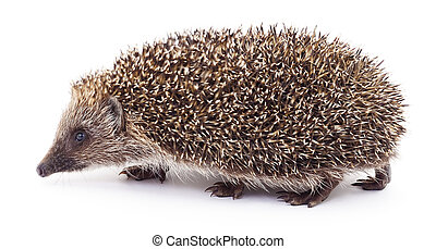 Hedgehog on white.