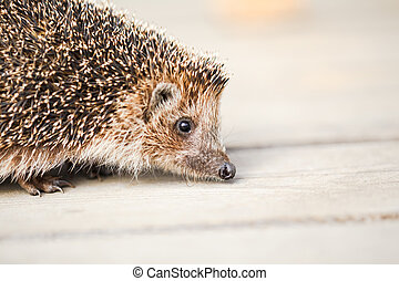 Hedgehog on wooden floor