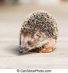 Hedgehog on wooden floor