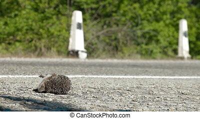 Hedgehog Pedestrian Killed in Road - Hedgehog as a...