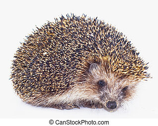 Hedgehog - prickly hedgehog is isolated on a white ...