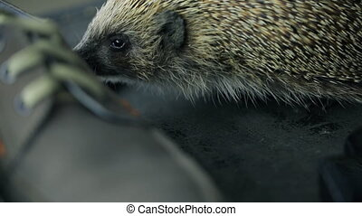 Hedgehog sniffs male shoes, gets acquainted with new...