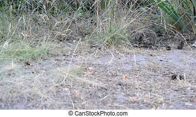 Hedgehog stands still and then walks away. Shot in forest in...