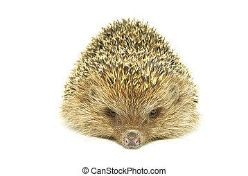 hedgehog  - Hedgehog isolated on a white background