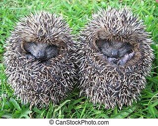 Hedgehog Twins - two baby hedgehogs