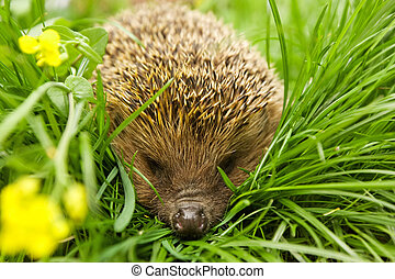 Hedgehog, wild animal background