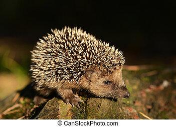 Hedgehog - Young hedgehog in natural habitat