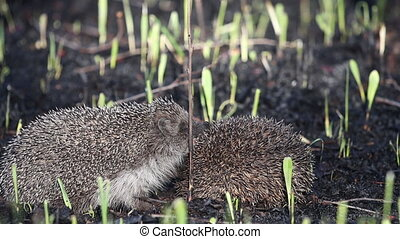 Hedgehogs in mating season slow motion , wildlife
