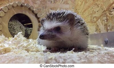 hedgehog.Young hedgehog In animal the contact zoo children -...