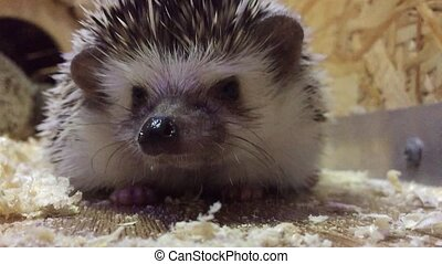 hedgehog.Young hedgehog In the contact animal zoo children -...