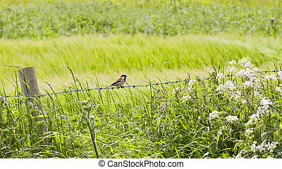 Hedgerow - House Sparrow sitting on the wire of a...