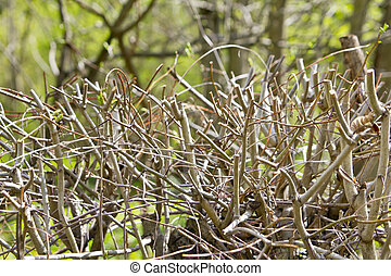 Hedgerow - Willow hedgerow in the traditional European...