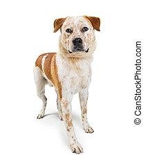 Heeler Dog Mix Standing on White