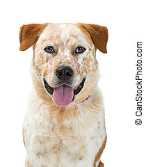 Heeler Dog Mixed Breed Sitting on White