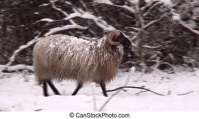 Heidschnucke Sheeps in the forest in the winter