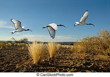 heilig ibis, montage
