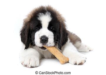 heilige bernard, junger hund, genießen, a, behandeln, weiß,...