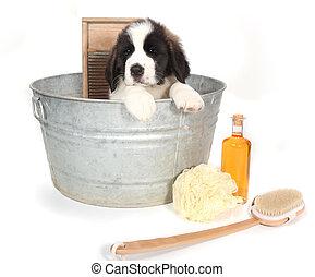 heilige bernard, puppy, in, een, washtub, voor, baden...