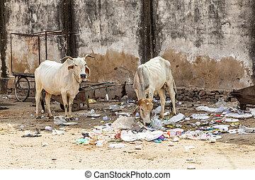 heilige koe, in, india, het voeden, op, restafval