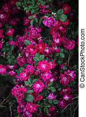 Heirloom Red Climbing Roses