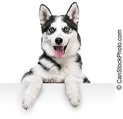 heiser, hund, porträt, oben, weißes