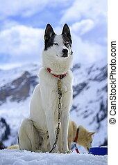 heiser, hund, porträt