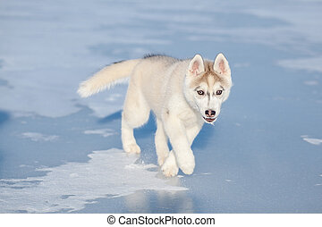 heiser, junger hund, läufe, auf, der, schnee