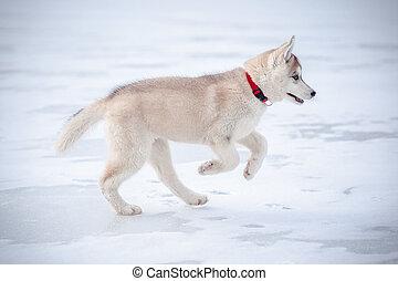 heiser, junger hund, läufe, schnee