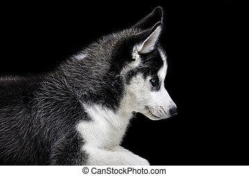 heiser, schwarzer hund