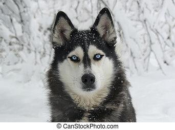 heiser, verschneiter, sibirisch, hund