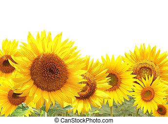 helder, gele, zonnebloemen