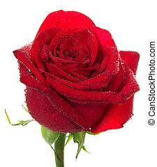 helder rood, knop, van, roos