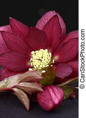 Heleborus niger