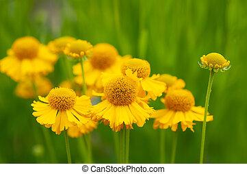helenium, flora, illustratie, macrophotography, sneezeweed, garden., bloeiend, helenium