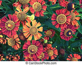 helenium, flores, primer plano