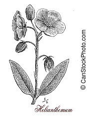 Helianthemum, botanical vintage engraving