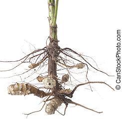 helianthus, tuberosus