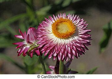 Helichrysum bracteatum, Everlasting - Helichrysum...
