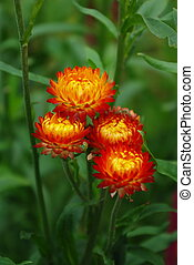 Helichrysum flowers suitable for drying - Beautiful...