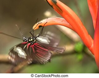 Heliconid butterfly (Neruda metharme) - Feeding on a flower ...