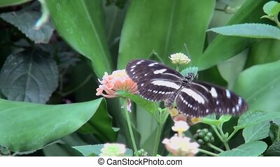 Heliconiini Butterfly eats nectar.