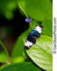 heliconius, 蝴蝶, 栖息, 上, a, 生葉, plant.