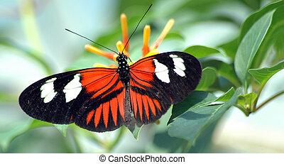 heliconius, 蝶, 上に, 葉