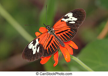 Heliconius Butterfly also known as a Piano Key butterfly
