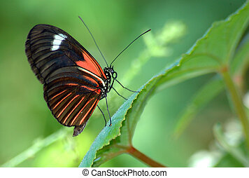 heliconius Butterfly - Heliconius erato notabilis butterfly ...