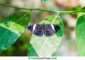 Heliconius butterfy in Costa Rica